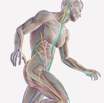 Anatomy Trains In Structure And Function Massage Therapy School In